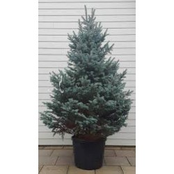 Picea pungens C46 140-160