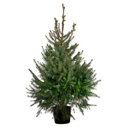 Picea omorica C12/15 120-140